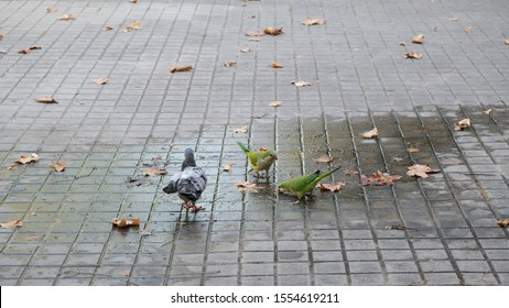 Parrots drink water, street in Barcelona