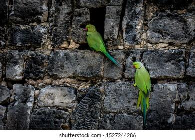 Parrots at Dutch Fort Mannar Sri Lanka
