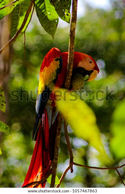 Parrots (Scarlet macaws) sitting in the tree of a rain forest