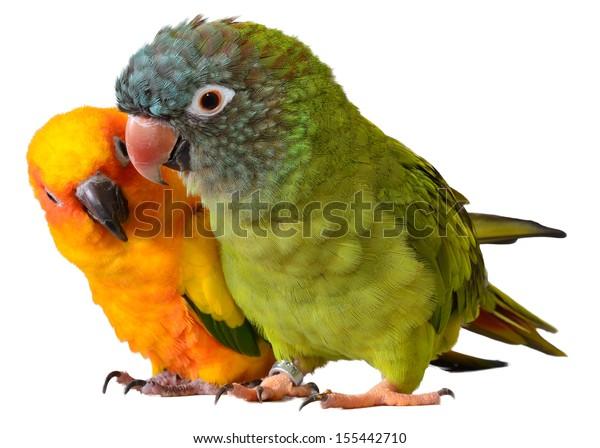 Parrots Sun Conure Blue Crowned Conure Stock Photo (Edit Now