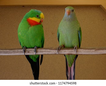 Yellow Parrots Male and Female Images, Stock Photos & Vectors