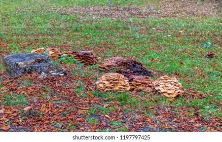 Parsitic mushrooms (fam. Armillaria) on earth near a stub in a forest in autumn.