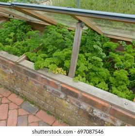 Parsley 'Envy' (Petroselinum crispum) Growing in an Overlap Cold Frame in a Vegetable Garden in Rural Devon, England, UK
