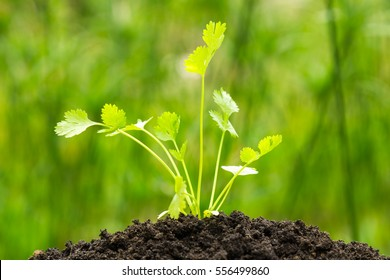 Parsley growing on crumbly soil on green nature background