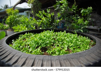 The parsley was grown in old tires.