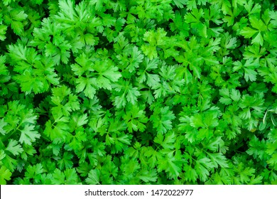 Parsley grows in the garden. It is grown outdoors in the garden area. Green background of parsley leaves, top view close-up