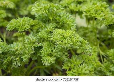 Parsley grows in the garden at my farm. Excellent seasoning.