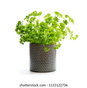 Parsley  herb plant in a pot isolated on white