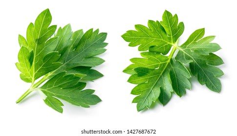Parsley. Parsley aislado. Parsley en blanco.