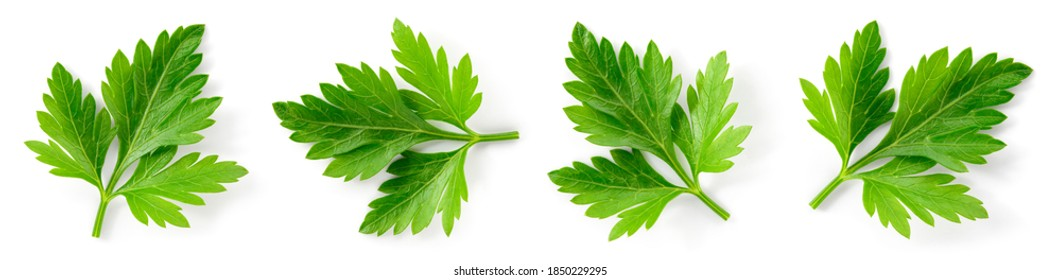 Parsley. Parsley isolated. Parsley on white. Top view.