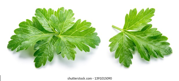 Parsley. Parsley isolated. Top view. Full depth of field.