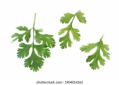 Parsley leaf on white background.