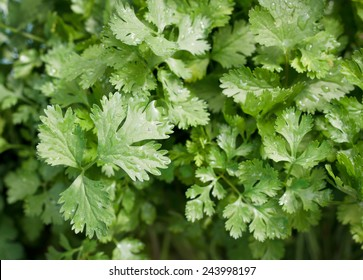 parsley leaves background.