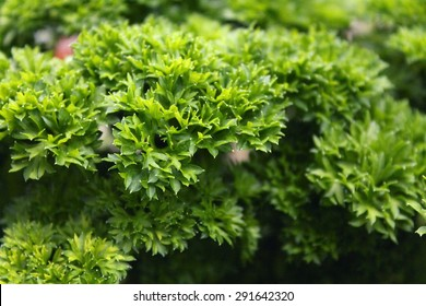 Parsley Leaves Close-Up (Petroselinum Crispum)