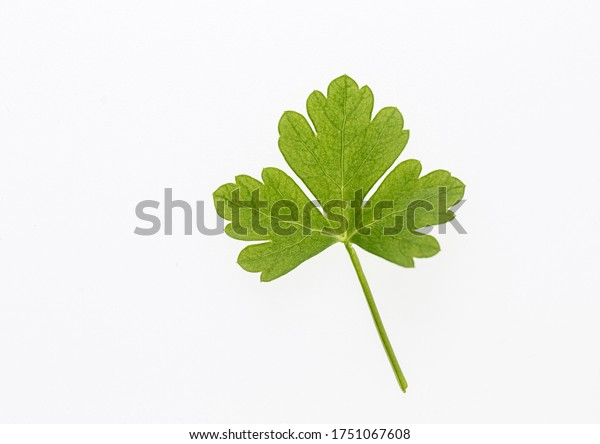 Parsley on a white background. Fresh herbs. Isolated from background. Picture with space for text. Young parsley leaves.