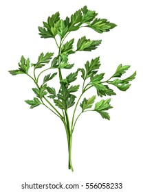 Parsley Pencil Drawing Isolated on White