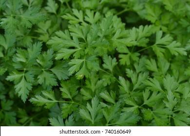 Parsley. Petroselinum. parsley leaves. Green leaves. Parsley growing in the garden. Close-up. Garden. Field. Farm. Growing herbs. Horizontal photo
