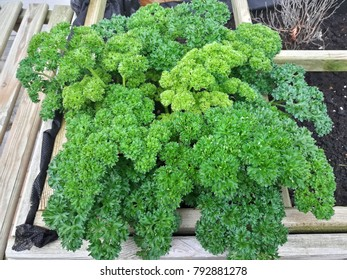 Parsley plant, Green vegetable.