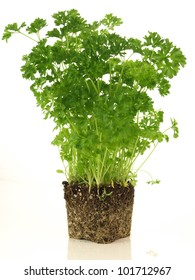Parsley plant without flowerpot on isolated background