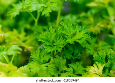 Parsley plants in close up