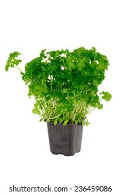 Parsley in pot - isolated on the white background.