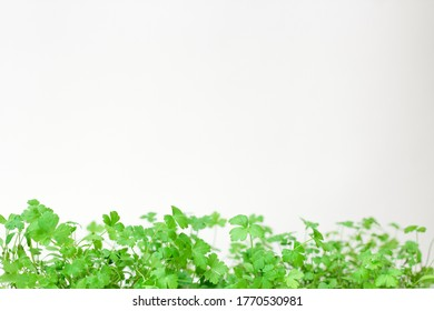 parsley sprouts on a white background. Copy space. Green summer parsley on a white background. Place to record. Greenery. Healthy diet. Diet. Greens for salad. Nutrition