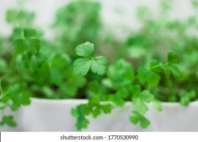 parsley sprouts on a white background. Close plan. Close view. Green summer parsley on a white background. Place to record. Greenery. Healthy diet. Diet. Greens for salad. Nutrition