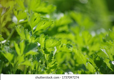 Parsley in a sunny bed outdoors