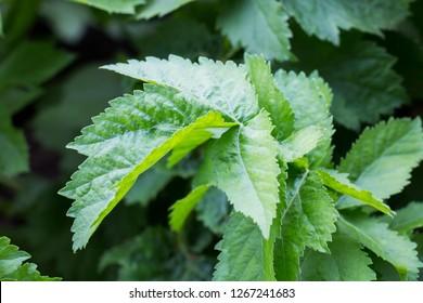 Parsnip leaves. Parsnip plant (Pastinaca sativa) in the garden