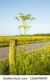 Parsnip, Pastinaca sativa,  is a species of plant from Apiaceae or Umbelliferae family and grows and thrives in rugged roadside vegetation in sustainably managed natural areas with vulnerable biotopes