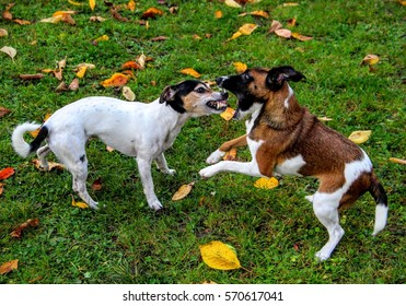 Parson russel terrier and fox terrier fighting on the grass with fallen leaves  - Shutterstock ID 570617041