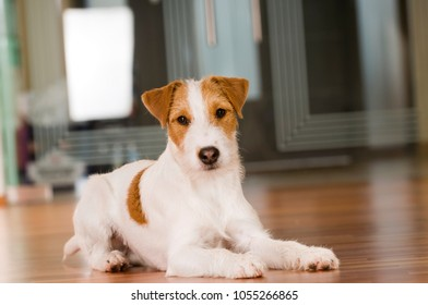 Parson russel terrier in a living room