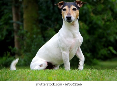 Parson russel terrier playing in the garden - Shutterstock ID 695862166