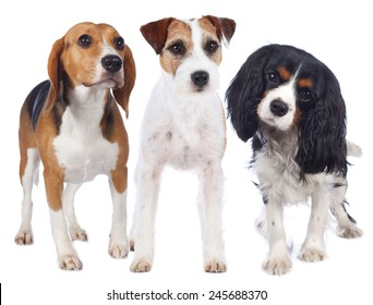 Parson russell terrier, beagle and king charles spaniel
