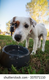 Parson Russell Terrier puppy drinking from the bowl. Outdoor portrait.