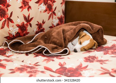 Parson Russell Terrier puppy on the couch sleeping with duvet