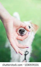 parson russell terrier puppy put his nose into OK fingers