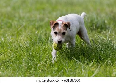 Parson Terrier