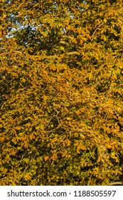 Part of a big chestnut foliage fading after summer, september autumn colors