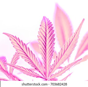 part of big powder pink marijuana leaves isolated on background. strong lines on cannabis leaf against another leaves. rainbow colorful happy life with cannabis. marijuana as a drug.