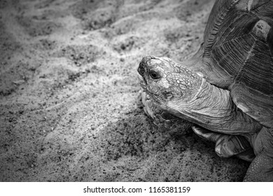 part of a big turtle on sand with the put-forward head from an armor closeup monochrome tone