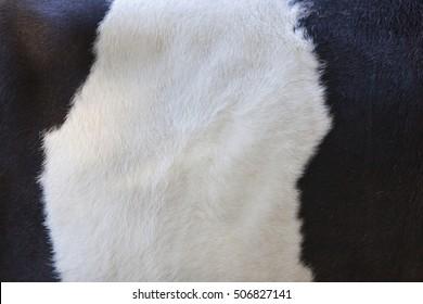 part of black and white hide on side of lakenvelder cow