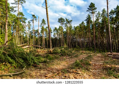 a part of a coniferous forest is cut down