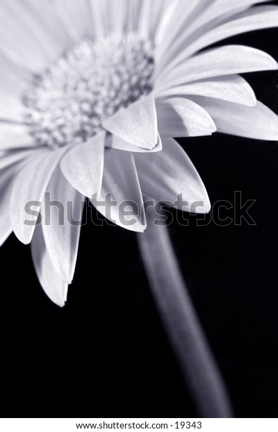 part of flower,black and white,focus on the front petals