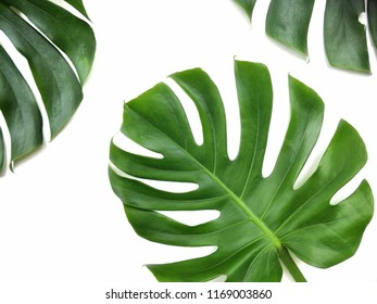 Part of green jungle monsters leaves, Swiss cheese plants on isolated white background, top view with copy space
