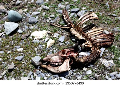 Part of A Horse Carcass/ Bones with Skull, Jaws, Ribs Lying on ground with Grass and Stones