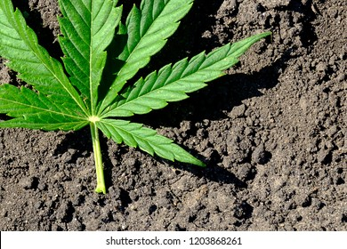 part of a leaf of marijuana lying on the black earth on a summer day under the open sky, a narcotic plant