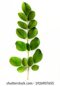 Part of moringa plant isolated on white background