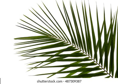 Part of palm tree on white background, Green leaves of palm tree on white background.
