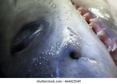Part of series of closeup shark photos with focus on head, jaw and sharp teeth.